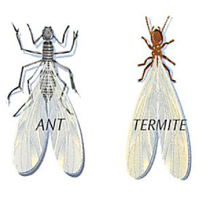 termites verse ants differences